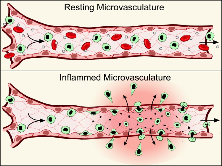 Resting vs Inflammed Microvasculature